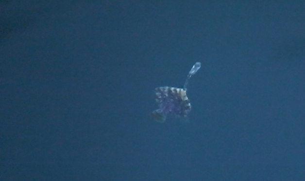A Spitting Baby Sunfish