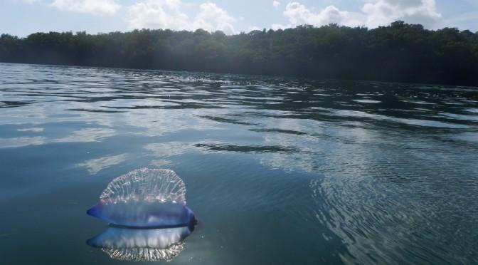 Critters: Man o' War Jellyfish