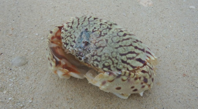 Critters: Flamed Box Crab
